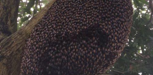 """Защищая свои гнёзда, дикие пчёлы делают защитную волну наподобие фанатской (фото + видео)"""">"""