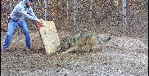 Мужчина встретил в лесу пойманного в капкан волка, и сделал то, чего не сделал бы никто другой