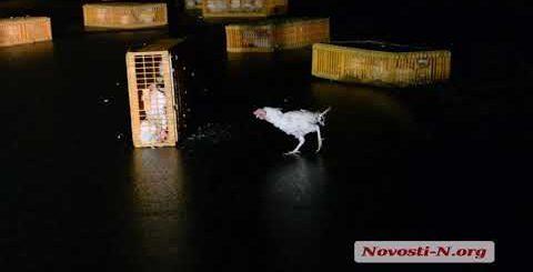 """Видео """"Новости-N"""": Под Николаевом перевернулась фура с курами"""