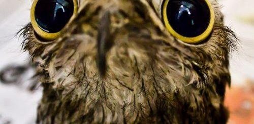 """Лесные козодои — самые забавные птицы, которых вы когда-либо видели (10 фото)"""">"""