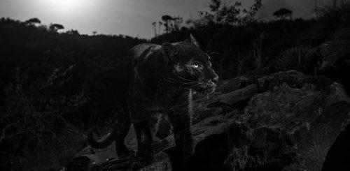 """Впервые за 100 лет редкий чёрный леопард попал в объектив фотографа (4 фото)"""">"""
