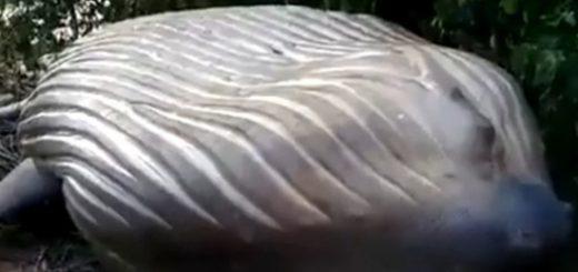 Посреди леса в Бразилии обнаружен мертвый кит