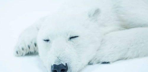 """Японский специалист по спецэффектам создал реалистичные скульптуры спящих белых медведей, которых не отличить от настоящих (7 фото)"""">"""