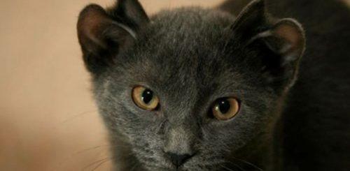 """Знакомьтесь, это Йода, кошка с четырьмя ушами (6 фото)"""">"""