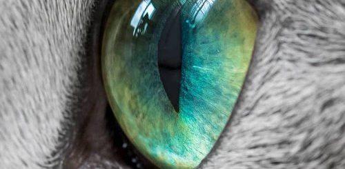"""Ксафи и Аури: русские голубые кошки с завораживающими зелёными глазами (19 фото)"""">"""