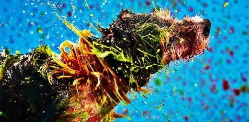 """Собаки создают абстрактные картины, стряхивая безвредную краску со своей шерсти (18 фото + видео)"""">"""