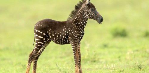 """В кенийском заповеднике у зебры родился детёныш """"в горошек"""" (6 фото + видео)"""">"""
