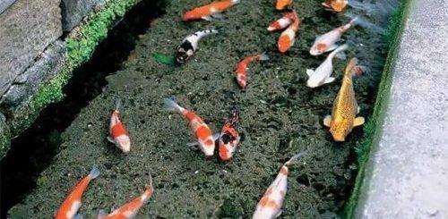 """Карпы кои в водосточных городских каналах в Японии (7 фото)"""">"""