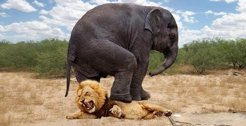 Слон в Деле! 10 Сумасшедших Битв Животных Снятых на Камеру