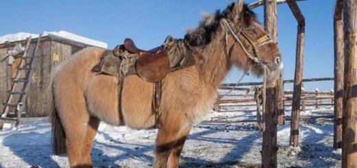 Уникальные якутские лошади, выдерживающие температуру до 70 градусов мороза (6 фото)