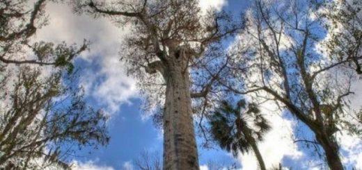 Топ-7: Самые старые деревья на Земле