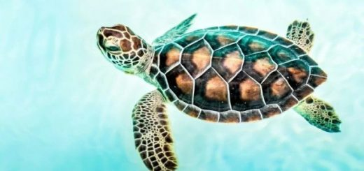 Захватывающие факты про морских черепах (10 фото)